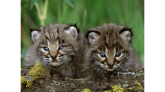 Baby_Animals_Wallpaper_8ZVKQ1