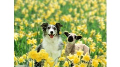 dog-and-lamb-spring-daffodils